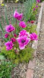 Pink anemones in flower border. Deep purple magenta Pink anemones in garden flower border with daffodils in bud alongside gravel path stock images