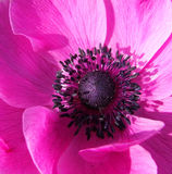 Pink Anenome Royalty Free Stock Photo