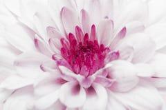 Pink annealed Chrysanthemum Royalty Free Stock Photos