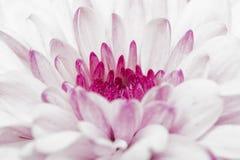 Pink annealed Chrysanthemum Stock Photos