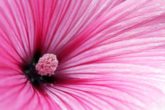 Pink Annual Mallow flower closeup Stock Photos