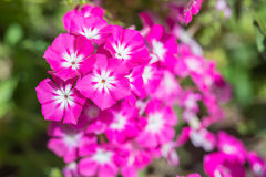 Pink Annual Phlox flower Stock Photography