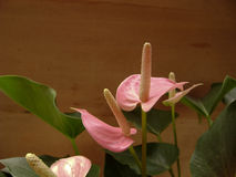 Pink anthurium andraeanum flower. With wood background Stock Images