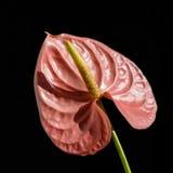 Pink anthurium Stock Photo