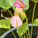 Pink Anthurium Royalty Free Stock Photos