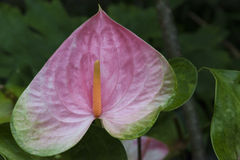 Pink Anthurium Royalty Free Stock Image