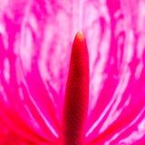 Pink Anthurium flower. Macro detail image of Pink Anthurium flower. Shallow depth of field Stock Photos