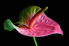 Pink anthurium Stock Photos