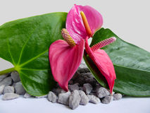 Pink anthurium flowers gray stones. Composition of three pink anthurium flowers with green leaves, gray stones and a gray background Royalty Free Stock Images