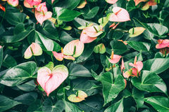 Pink Anthurium lily Stock Images