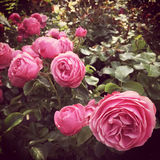 Pink antique roses in the summer garden Stock Photography