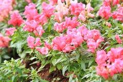 Pink Antirrhinum Royalty Free Stock Image