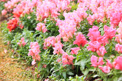 Pink Antirrhinum Stock Image