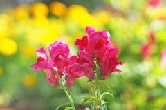 Pink antirrhinum majus Stock Photo