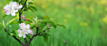 Pink apple blossom Stock Photo