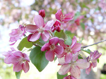 Pink apple blossom Royalty Free Stock Photography