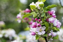Pink apple blossom. Beautiful pink apple flowers blooming on the branch in the spring royalty free stock photography