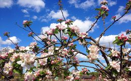 Pink apple blossom with blue sky background. Royalty Free Stock Photography