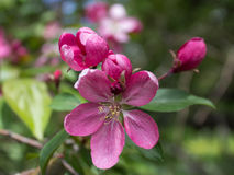 Pink apple blossom close-up Royalty Free Stock Photos
