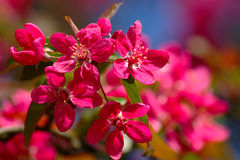 Pink Apple Blossom Royalty Free Stock Photos
