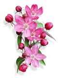 Pink apple blossom isolated Royalty Free Stock Images