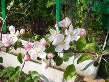 Pink Apple Blossom Stock Photo