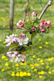 Pink apple blossoms. On a meadow Stock Photo