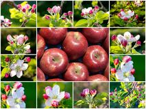 Pink apple blossoms and apple , collage Stock Image