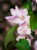 Pink apple blossoms Stock Photos
