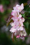 Pink apple blossoms Royalty Free Stock Photography