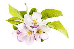 Pink apple blossoms Royalty Free Stock Images