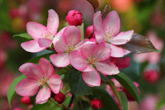 Pink apple blossoms Royalty Free Stock Photos