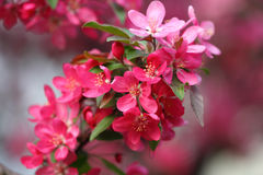 Pink apple blossoms Stock Photo