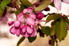 Pink Apple Blossoms. A clump of pink flowers hanging from a branch on a tree in the spring season Stock Photo