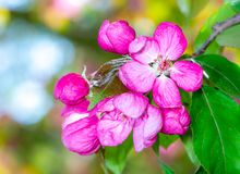 Pink apple blossoms stock photography