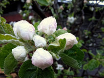 Pink apple blossoms after rain Royalty Free Stock Photo