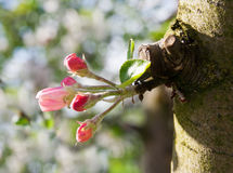 Pink apple bud Royalty Free Stock Photography