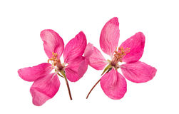Pink Apple Flower Royalty Free Stock Images