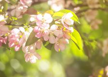 Pink apple flower blooming. Closeup and color filter. Beauty nat. Pink apple flower blooming. Closeup and color filter stock photo