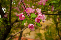 Pink apple flowers Royalty Free Stock Photography