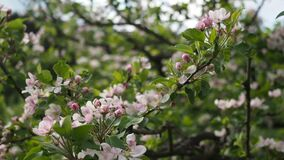 Pink apple flowers blooming in the garden in HD VIDEO