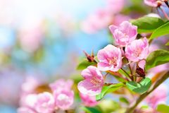 Pink apple flowers spring background Stock Photo