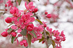 Pink apple tree blossom Stock Photo