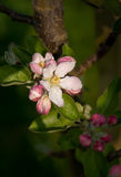 Pink apple tree blossom (Malus domestica). Close-up of apple tree (Malus domestica Flamenco) blossom, shallow depth of field Royalty Free Stock Image