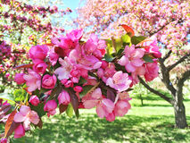 Pink apple tree blossom Royalty Free Stock Images