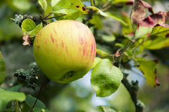Pink Apple on the tree, close up, shallow focus Royalty Free Stock Image