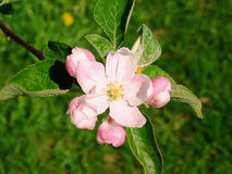 Pink apple tree flower in bloom-stock photos Stock Photos