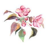 Pink apple tree flower. Watercolor hand painted picture Stock Images