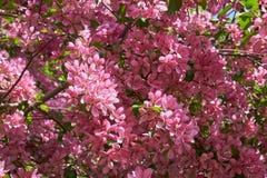 Pink apple-tree flowers. Pink apple tree flowers on blue sky background stock photography