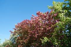 Pink apple-tree flowers. Pink apple tree flowers on blue sky background stock photos